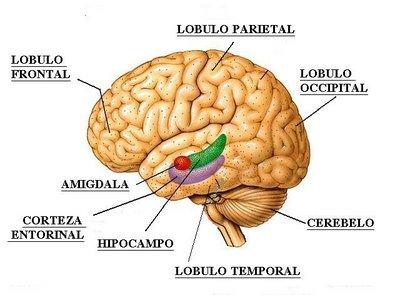 amigdala-hipocampo-corteza-entorrinal