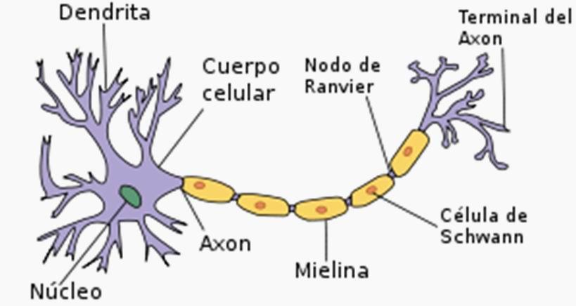 estructura-neurona